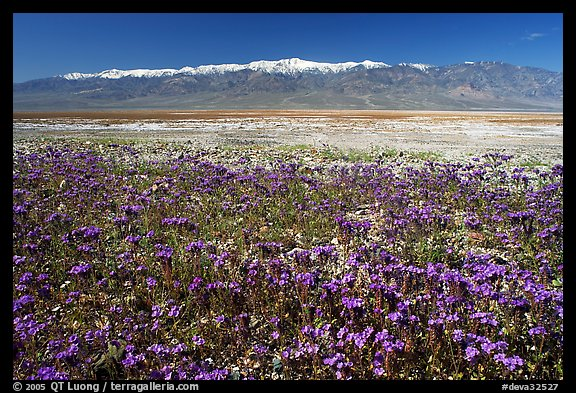 Purple Phacelia and Panamint Range, morning. Death Valley National Park, California, USA.