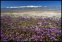 Purple Phacelia and Panamint Range, morning. Death Valley National Park, California, USA. (color)