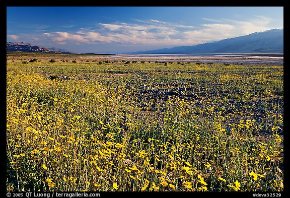 Valley and rare desert blooms, late afternoon. Death Valley National Park, California, USA.
