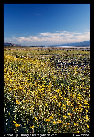 Valley and rare carpet of Desert Gold wildflowers, late afternoon. Death Valley National Park (color)