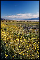 Valley and rare carpet of Desert Gold wildflowers, late afternoon. Death Valley National Park, California, USA.