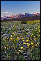 Desert blooms and distant mountains, sunset. Death Valley National Park, California, USA. (color)