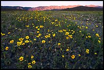 Desert Gold flowers and mountains, sunset. Death Valley National Park, California, USA.