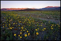 Rare desert wildflower bloom and mountains, sunset. Death Valley National Park, California, USA.