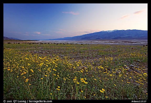 Valley and Desert Gold wildflowers, sunset. Death Valley National Park (color)