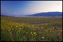 Valley and Desert Gold wildflowers, sunset. Death Valley National Park, California, USA.