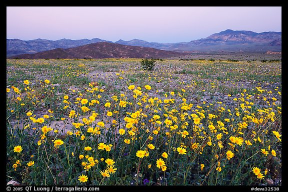 Yellow wildflowers and mountains, dusk. Death Valley National Park (color)