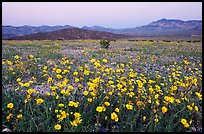 Yellow wildflowers and mountains, dusk. Death Valley National Park, California, USA.