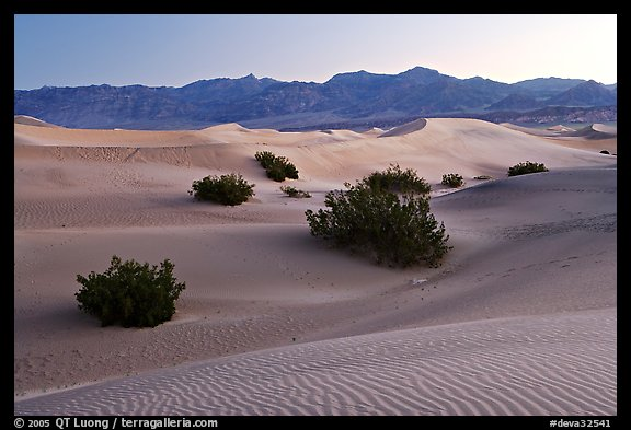 Mesquite bushes and sand dunes, dawn. Death Valley National Park (color)