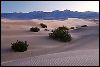 Mesquite bushes and sand dunes, dawn. Death Valley National Park, California, USA.
