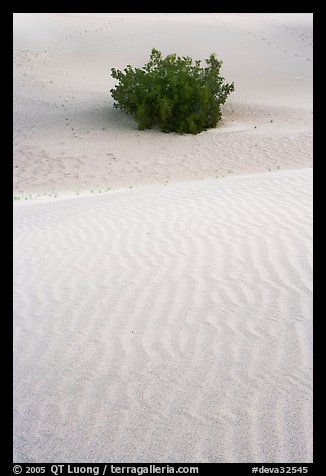 Mesquite bush and sand ripples, dawn. Death Valley National Park (color)