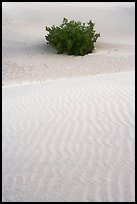 Mesquite bush and sand ripples, dawn. Death Valley National Park, California, USA. (color)