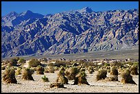 Devil's cornfield and Armagosa Mountains. Death Valley National Park, California, USA.