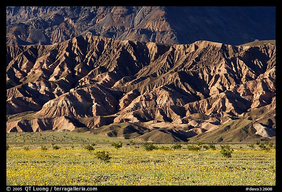 Yellow wildflowers and buttes, late afternoon. Death Valley National Park, California, USA.