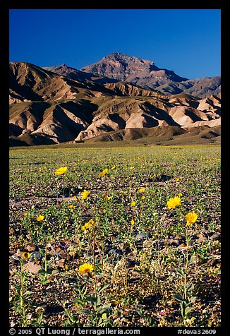 Desert Gold in bloom on flats bellow the Armagosa Mountains, late afternoon. Death Valley National Park (color)