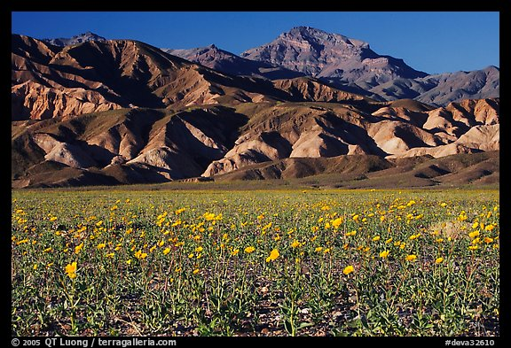Desert Gold blooming on flats bellow the Armagosa Mountains, late afternoon. Death Valley National Park (color)