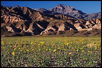 Desert Gold blooming on flats bellow the Armagosa Mountains, late afternoon. Death Valley National Park, California, USA.