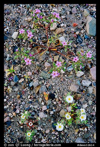 Desert wildflowers. Death Valley National Park (color)
