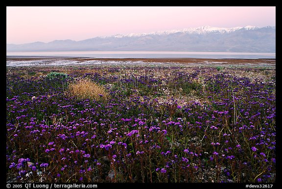 Phacelia and Panamint range at dawn. Death Valley National Park, California, USA.