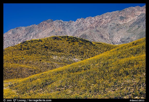 Hills covered with Desert Gold and Smith Mountains, morning. Death Valley National Park, California, USA.