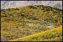 Hills covered with rare carpet of yellow wildflowers. Death Valley National Park, California, USA. (color)