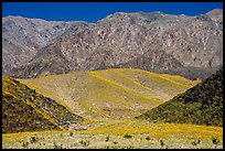 Hills covered with yellow blooms and Smith Mountains, morning. Death Valley National Park, California, USA.