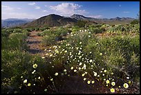High desert with Desert Dandelion flowers n. Death Valley National Park, California, USA.