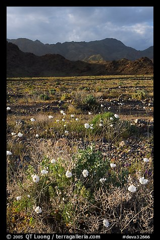 Desert with Gravel Ghost wildflowers and Black Mountains. Death Valley National Park (color)