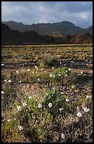 Desert with Gravel Ghost wildflowers and Black Mountains. Death Valley National Park, California, USA.