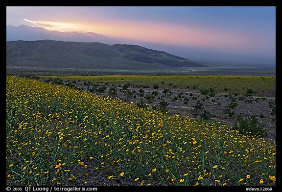Field of Desert Gold and Owlshead Mountains near Ashford Mill, sunset. Death Valley National Park (color)