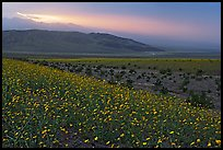 Field of Desert Gold and Owlshead Mountains near Ashford Mill, sunset. Death Valley National Park, California, USA.