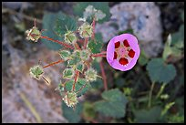 Rare Desert Five Spot. Death Valley National Park, California, USA.