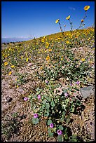 Desert Five Spot and Desert Gold near Ashford Mill. Death Valley National Park, California, USA.