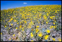 Desert Gold blured by wind gusts near Ashford Mill. Death Valley National Park, California, USA.