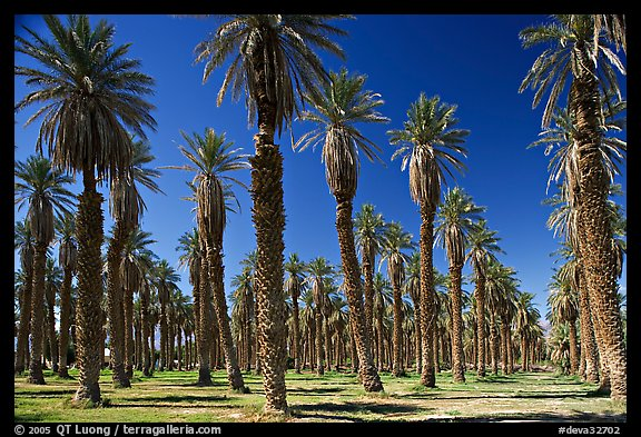 Palm trees in Furnace Creek Oasis. Death Valley National Park, California, USA.