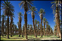 Palm trees in Furnace Creek Oasis. Death Valley National Park, California, USA. (color)