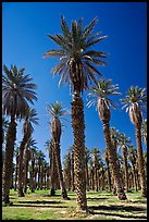 Date Palms in Furnace Creek Oasis. Death Valley National Park, California, USA.
