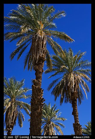 Date palm trees in Furnace Creek Oasis. Death Valley National Park (color)