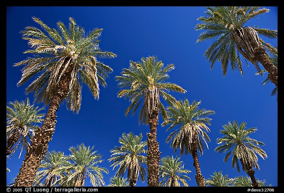 Date trees in Furnace Creek Oasis. Death Valley National Park (color)