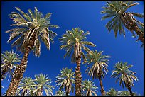 Date trees in Furnace Creek Oasis. Death Valley National Park, California, USA. (color)