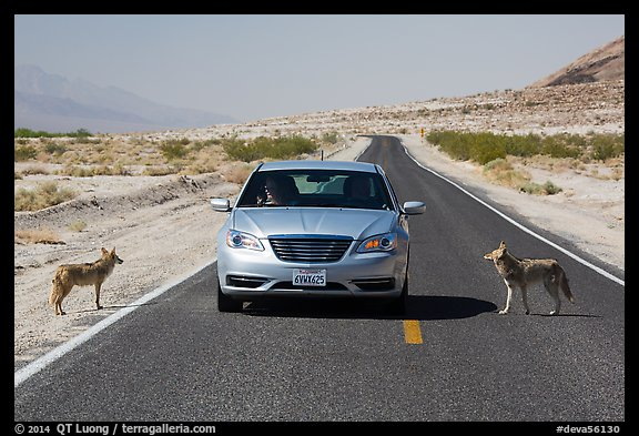 Habituated coyotes standing on road next to car. Death Valley National Park (color)
