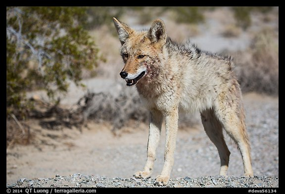Desert coyote. Death Valley National Park (color)