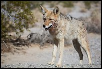 Desert coyote. Death Valley National Park ( color)