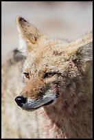 Coyote head. Death Valley National Park ( color)