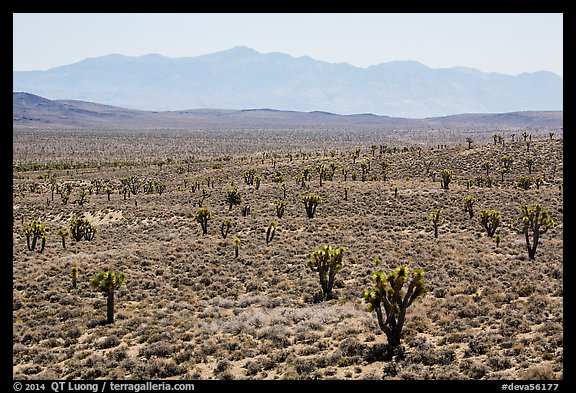 Joshua trees on Lee Flat and Panamint Range. Death Valley National Park (color)