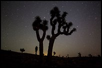 Joshua Trees and starry sky, Lee Flat. Death Valley National Park, California, USA.