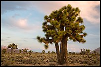 Joshua Trees at sunrise, Lee Flat. Death Valley National Park ( color)