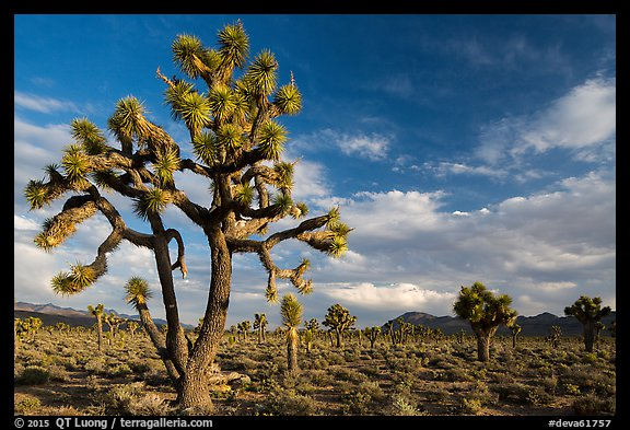 Joshua Tree groves at Lee Flat. Death Valley National Park (color)