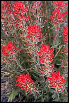 Indian Paintbrush. Death Valley National Park ( color)