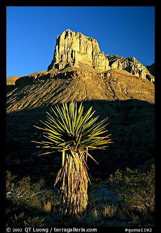 Yucca and El Capitan, early morning. Guadalupe Mountains National Park, Texas, USA.